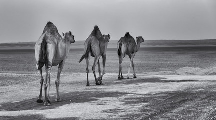 Row of camels walking a road at sunset in the desert artistic conversion