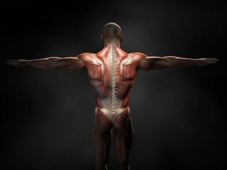 Back muscles of a man with cross section of the spine, medically 3D illustration Fototapete
