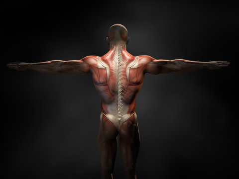 Back muscles of a man with cross section of the spine, medically 3D illustration