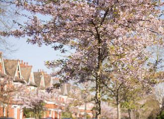 Blossom tree is on blurred background view of houses and blue sky. Concept: spring is here.