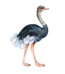 Ostrich colorful isolated on white background. Watercolor. Illustration. Template. Close-up. Clip art. Hand drawn. Hand painted