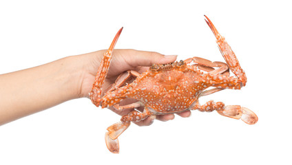 hand holding cooked crab isolated on white background