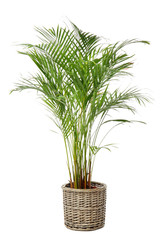 Foto auf Leinwand Blumen Areca palm in pot on white background