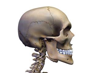 Male Skull in Profile on White