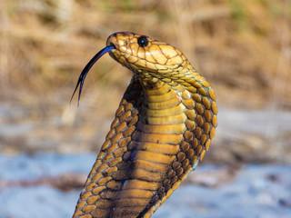 Cape Cobra (Naja nivea)
