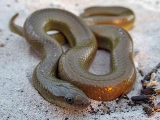 Olive Snake (Lycodonomorphus rufulus)