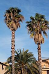 Tre alberi di palma con cielo azzurro