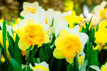 Blooming yelow daffodils