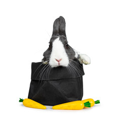 Cute grey with white European rabbit, Stting in a black paper back with three fake carrots. Paws over edge.  Looking at camera facing front. Isolated on white background.