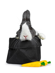 Cute grey with white European rabbit, Stting in a black paper back with two fake carrots. Paws over edge.  Looking at camera facing front. Isolated on white background.