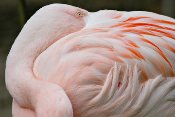 Pink Flamingo With Beak Tucked Into Feathers