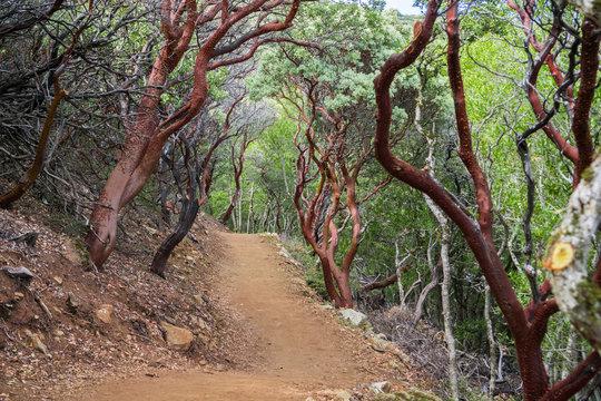 New hiking trail through manzanita trees, Mt Umunhum, Sierra Azul Open Space Preserve, Santa Clara county, California