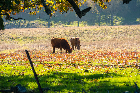 Cows grazing on a green field covered in fallen western sycamore leaves, Livermore, east San Francisco bay area, California