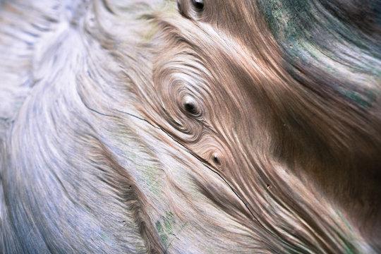 Close up of a redwood tree wood burl, Big Basin State Park, California
