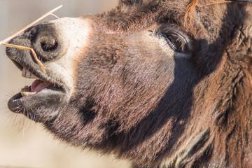 The Donkey Asino