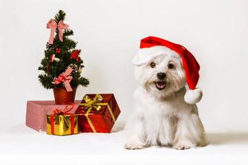 westi dog sitting on a white background christmas birthday yawning