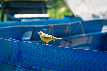 Yellow Bird standing in a blue peace of metal