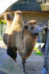View of a Bactrian camel with two humps at the Copenhagen Zoo