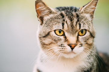 Gray And White Mixed Breed Cat