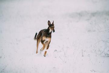 Sighthound Hortaya Borzaya Dog During Hare-hunting At Winter Day