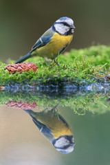 Blue tit near the water