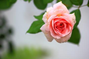 Coral pink rose flower in roses garden, Soft focus.