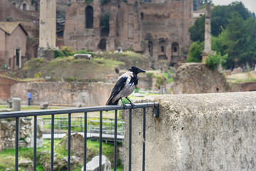 Crow in Rome. Italy