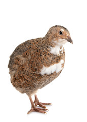 Japanese quail in studio