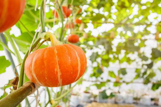 Fresh orange pumpkins growing in the organic greenhouse garden