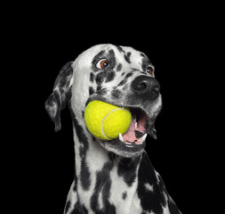 Cute dalmatian dog holding a ball in the mouth. Isolated on black