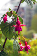 Pink Fuchsia flowers hanging on branch in rain drops