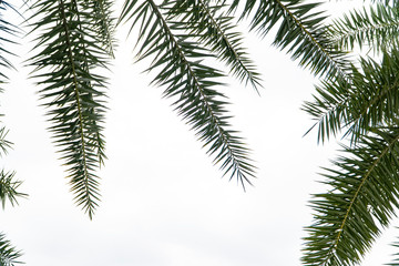 Palm foliage, a kind of dense and sharp leaflets that span the spines to all directions with the point leaf tip. The green branches of the tree stretch out to create isolated image and copy space.