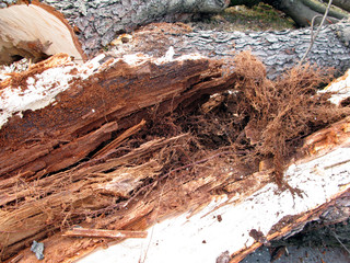 Printed roller blinds Firewood texture parasiten im baumbestand