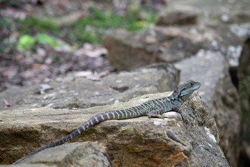 Eastern water dragon on rock at gardens