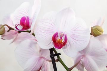 Orquídea phalaenopsis. Flores blancas con tonos rosa y púrpura. Orquídea mariposa.