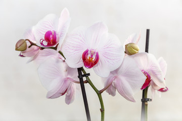 Flores blancas con tonos rosa y púrpura. Orquídea phalaenopsis. Orquídea mariposa.