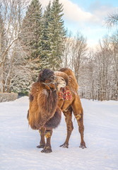 Shaggy camel in the winter snow-covered forest