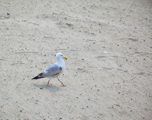 A seagull walks on the sand.