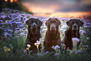 Black & Chocolate Labradors in Summer