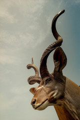 Wild brown mountain goat with huge horns