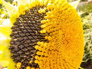 Beautiful  blured defocused  photo  sunflower  in the summer garden close-up.