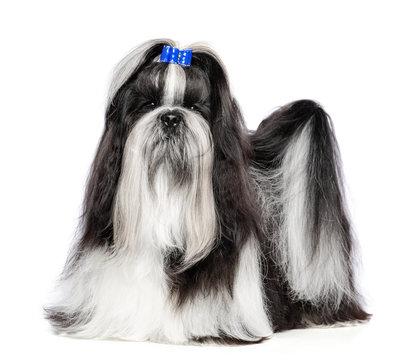 Shih Tzu dog on Isolated White Background in studio