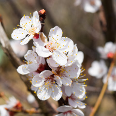 Spring flowering trees. Pollination of flowers of apricot. Bloom