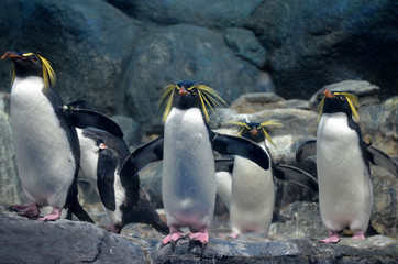A group of northern rockhopper penguin with a menacing gaze and spread wings standing on the rocks and looking forward.
