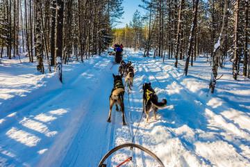 Ride on Finnish Husky Dog
