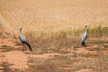 Deux grues cendrées dos à dos devant un champ de blé.