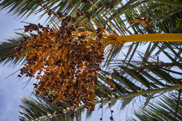 Dates Hanging from Branches of Fruit Bearing Palm Tree. Fresh Green Leaf Fronds Screening the Sun from the Blue Sky. Some Crops are Ripe Ready to be Eaten