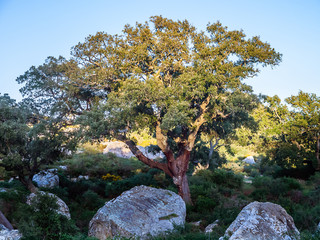 "old cork oak in the andalusian countryside. ""Parque de los alcornocales"", Algeciras, Andalusia, Spain, Europe"