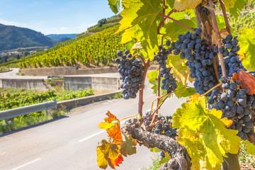 vignoble de Tain l'Hermitage, route des vins des Côtes du Rhône, France