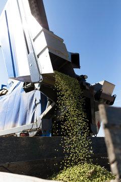 Olive harvester uploading on trailer tractor